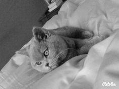 Mijn britse korthaar Luna