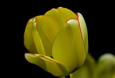 "Check out my art piece ""Yellow Tulip With A Hint Of Red"" on crated.com #art #photography #tulip #flowers"