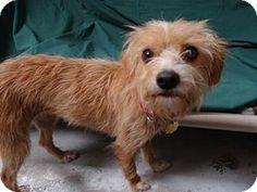 Seal Beach, CA - Terrier (Unknown Type, Medium) Mix. Meet Autumn, a dog for adoption. http://www.adoptapet.com/pet/16006416-seal-beach-california-terrier-unknown-type-medium-mix
