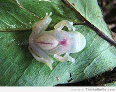 Transparent Rainforest Frog