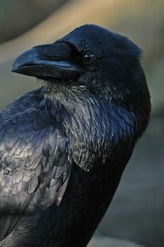 Corvus Corax abides on all our continents