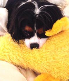 Teddy Bear and his ducky, June 2014 (tricolor Cavalier King Charles Spaniel) - EK