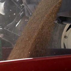 Report Extra. Falso grano biologico finisce sugli scaffali di Coop e Esselunga