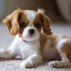 Check out our site for additional info on Spaniels. It is an outstanding place for more information. King Charles Puppy, Cavalier King Charles Dog, King Charles Spaniel, Cute Puppies, Cute Dogs, Dogs And Puppies, Doggies, King Spaniel, Spaniel Puppies