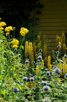 Rudbeckia laciniata 'Goldball', Eryngium planum and Ligularia are spectacular late summer perennials.