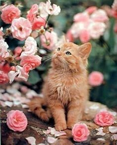 These cute kittens will bring you joy. Cats are wonderful friends. Cute Cats And Kittens, I Love Cats, Crazy Cats, Kittens Cutest, Ragdoll Kittens, Tabby Cats, Bengal Cats, Pretty Cats, Beautiful Cats