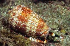 Lophotrochozoa- Mollusca- Gastropoda (cone snail)