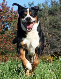 greater swiss mountain dog | Albert the Greater Swiss Mountain Dog Pictures 467259