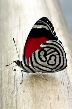 I want one of these to visit my garden! Diaethria clymena butterfly