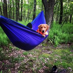 Denali earned some hammock time after the trek yesterday. #denaliadventures #newbestfriend #hammocklife #backpacking #goldenretriever #campingwithdogs #appalachiantrail by @ericmadden