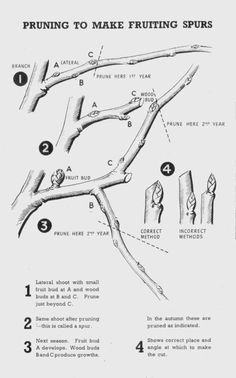 This section of the official wartime guide 25 covers the pruning of tree fruits including cherries, plums, damsons, apple and pear trees Veg Garden, Fruit Garden, Garden Trees, Edible Garden, Espalier Fruit Trees, Trees And Shrubs, Trees To Plant, Cherry Apple, Apple Pear