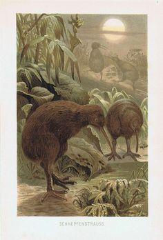 Bird Illustration, Illustrations, Kiwi Bird, Vintage Drawing, Vintage School, Contemporary Artwork, Antique Prints, Bird Art, Natural History