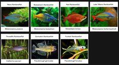 Raimbowfish