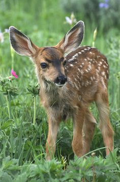 """Mule Deer (Odocoileus hemionus) fawn in Montana. 