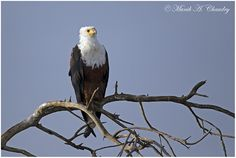The Ultimate Fisher! Wildlife photographer Munib Chaudry shared this wonderful image of Africn fish eagle on http://photos.wildfact.com, a website community for wildlife photographers only. To enjoy the image click below link to view in full mode, to join the community, see many other wildlife photographs and follow wildlife photographers http://photos.wildfact.com/image/558/the-ultimate-fisher  #Wildlife #WildlifePhotography #Photography #Kenya
