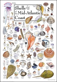 Shells & Beach Life of the Mid-Atlantic Coast.A puzzle I purchased just for the week we were all there to enjoy putting it together. Seashell Art, Seashell Crafts, Beach Crafts, Seashell Projects, Starfish, Shell Beach, Seashell Identification, Illustration, Sea World