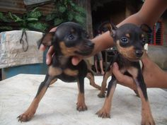 micro pinchers...just like my puppy........that's apparently a chihuahua...but looks EXACTLY like these!!