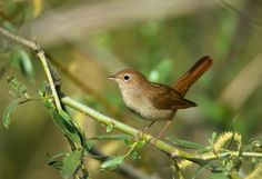 nightingale bird | Another name of the bird is vanampadi. Small in size often can seen in ...