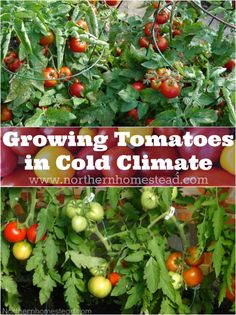 9 simple tips for growing tomatoes in cold climate and harvesting ripe tomatoes in the summer.