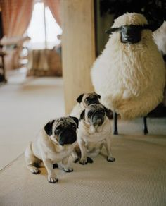 """""""Three of eight adorable Pugs at Valentino's Chalet, the Gstaad ski lodge. Amor Pug, Pugs And Kisses, Cute Pugs, Mundo Animal, Pug Love, Mans Best Friend, Best Dogs, Fur Babies, Dog Cat"""
