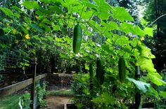 Mid-Summer Garden Update | The Wanna be Country Girl    I love our cucumber arching trellis!