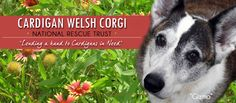 Cardigan Welsh Corgi National Rescue Trust: For finding corgis in need of adoption