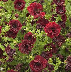 Potentilla 'Volcan' : Very deep red, almost maroon semi-double flowers from June to September. Very choice. 40-50cm high. (EG 2013)