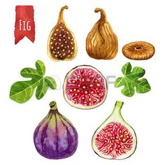 fig drawing: Figs, hand-painted watercolor set, vector clipping paths included…