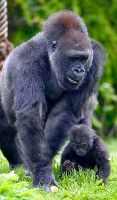Mama Gorilla Walking With Her Baby