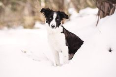 Puppy's First Snow Trip!  Rosie the Border Collie Pup by Akemi Photography | Pretty Fluffy
