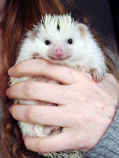 {fistful of hedgehog} Loki the hedgehog