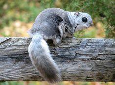 Liito-orava > (Pteromys volans) - (Linnaeus, 1758)