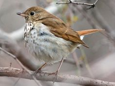The link between classical music, math and birds? Scales! The melody of the male hermit thrush closely resembles the harmonic series.