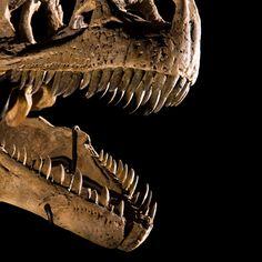 The business end of Allosaurus fragilis. Image credit: Carnegie Museum of Natural History. Jurassic Era.