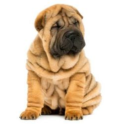 Way Too Cute!!!-I've always wanted a Shar-pei but, heard they have alot of skin problems & often more than not, expensive vet bills. =( Ur still adorable! =)