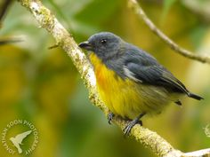 Yellow-Rumped Flowerpecker  --  I just love the name!