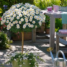 Marguerite Daisy (Argyranthemum); pruned to a standard, this plant could brighten up your balcony with over 5 months of flowers each year.