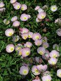 NPIN: Oenothera speciosa (Pink evening primrose)