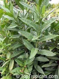 Pimenta dioica, Allspice, Jamaica Pepper, Pimento Tree, Alspice  Click to see full-size image