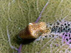 Flamingo Tongue Sea Snail feeds from the top of a Sea Fan.
