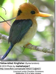 Yellow-billed Kingfisher (Syma torotoro) is widespread throughout lowland New Guinea and the adjacent islands, extending to northern Cape York Pensinula in Australia.