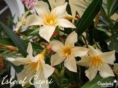 isle_of_capri- Isle Of Capri, Flowers, Plants, Capri, Plant, Royal Icing Flowers, Flower, Florals, Floral