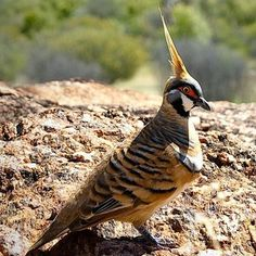 Pigeons and doves are beautiful birds, and this photo gallery of some of the world's most beautiful pigeons and doves features species worldwide with a wide range of colors and unusual markings. Each photo includes range information for the species and details about its beauty.: Spinifex Pigeon