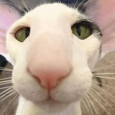 Arthritis In Cats: Symptoms, Causes, & Treatments I Love Cats, Crazy Cats, Cool Cats, Dobby Cat, Oriental Shorthair Cats, Baby Animals, Cute Animals, Ugly Cat, Gato Grande