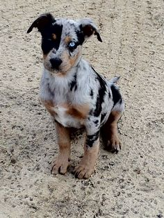 My next pet!!  Catahoula Leopard Dog.