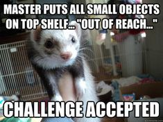 Ferret challenge accepted. I want another one but I don't think the 2 I have would appreciate having to share cuddle time with one more