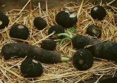 Le radis noir, ami du foie