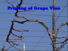 Pruning of Grape Vines Grape Tree, Grape Plant, Grape Vines, Grape Trellis, Vine Trellis, Growing Fruit Trees, Growing Grapes, Grape Vine Pruning, Vegetable Garden Design