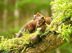 Cuddling up: European Pine Martens snuggled on a branch in Argyll by Sandra… Hamsters, Hedgehogs, Squirrels, Beautiful World, Animals Beautiful, Pine Marten, Lemurs, Chipmunks, Great Photos