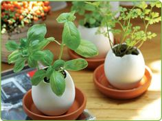 Recycle your Easter eggs or any other eggs and transform them into cute little planters for a mini garden of decorative plants or herbs. Growing Tomatoes, Growing Plants, Container Gardening, Gardening Tips, Egg Shell Planters, Herb Planters, Herb Pots, Ceramic Planters, Potager Bio